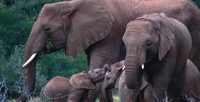 Γιατί οι ελέφαντες δεν παθαίνουν καρκίνο - Το μυστικό γονίδιο