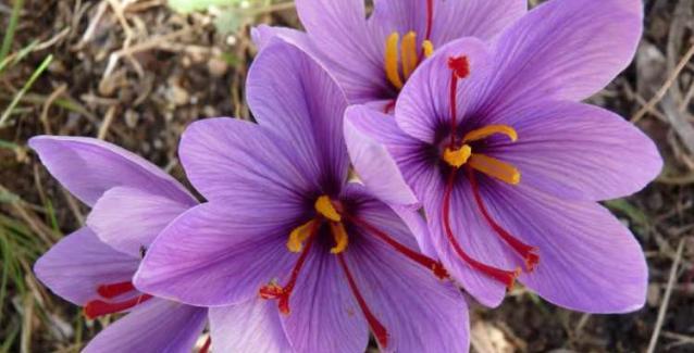 Θαυματουργό»: Το αντικαρκινικό φυτό που φυτρώνει στην Ελλάδα   BriefingNews